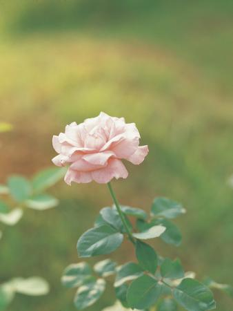 A Single Delicate Pink Rose Blossom