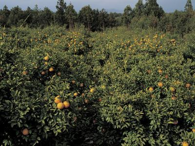 Fresh Oranges in Orchard Trees
