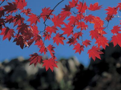 Close-up of Many Bright Red Leaves on Branches