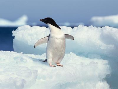 Penguin Standing Outdoor on Snow-Covered Surface