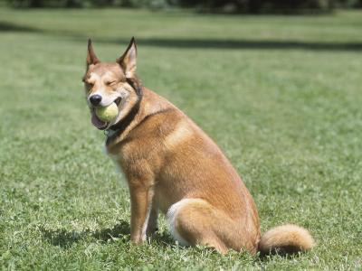 German Shepherd Dog with Ball Sitting in Grassy Green Field in Park