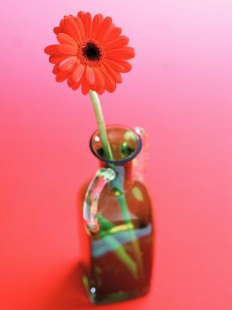 Arrangement of Beautiful Blossoming Gerbera Daisies