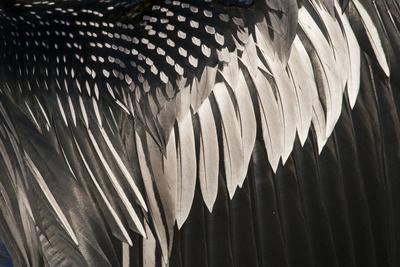Anhinga (Anhinga anhinga) adult male, close-up of wing feathers, Anhinga Trail, Everglades