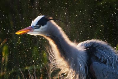 Great Blue Heron (Ardea herodias) adult, close-up of head and neck, shaking off water, Everglades