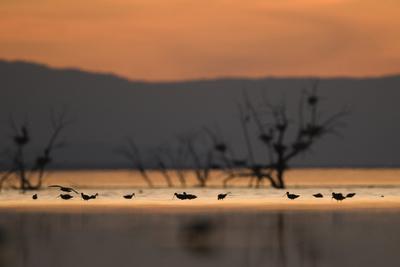 Migrant waders feeding in saline lagoon habitat, silhouetted at dusk, Salton Sea, California