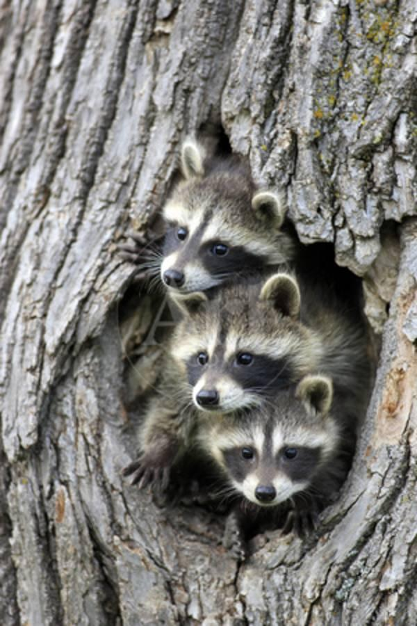 Common Raccoon (Procyon lotor) three young, at den entrance in tree trunk,  Minnesota, USA