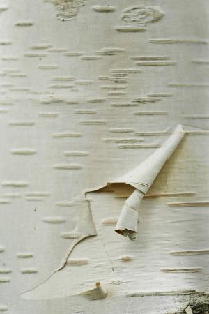 Himalayan White Birch (Betula jacquemontii) 'doorenbos', close-up of peeling bark detail, England