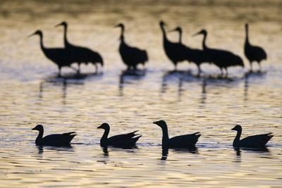 Snow Goose (Chen caerulescens) and Sandhill Crane (Grus canadensis)silhouetted, New Mexico