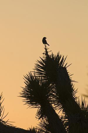 Loggerhead Shrike (Lanius ludovicianus) adult, Joshua Tree