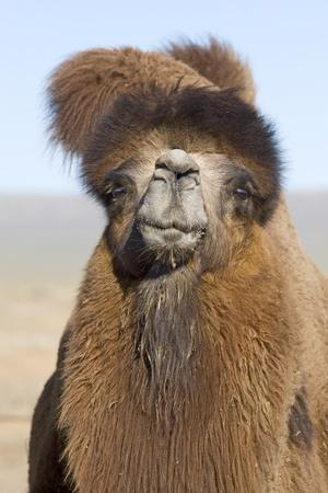 Domesticated Bactrian Camel (Camelus bactrianus) breeding male, Khongoryn Els Sand Dunes