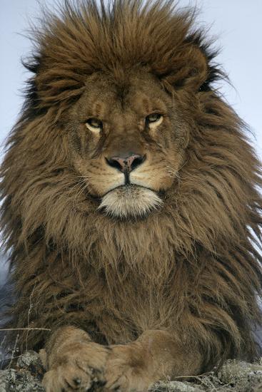 Barbary Lion Panthera Leo Leo Adult Male Close Up Of