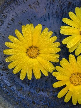 Pot Marigold (Calendula officinalis) close-up of flowers, against blue background of glazed bowl