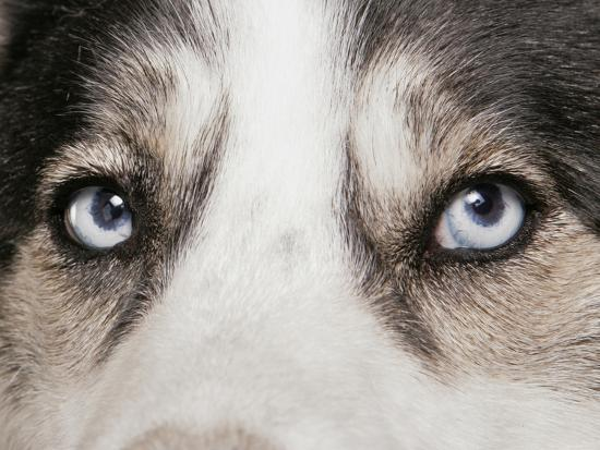 Domestic Dog Siberian Husky Adult Close Up Of Eyes Photographic