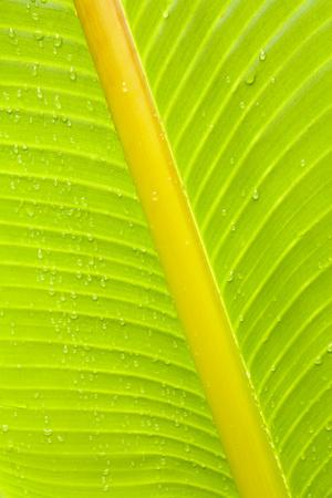 Banana (Musa sp.) close-up of leaf in rain