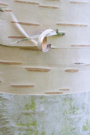 Himalayan Birch (Betula utilis) close-up of bark