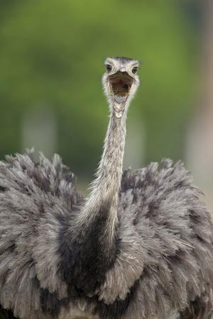 Greater Rhea (Rhea americana) adult, feeding, with beak open, close-up of head and neck
