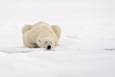 Polar Bear (Ursus maritimus) adult, sleeping on snow, Murchisonfjorden, Svalbard
