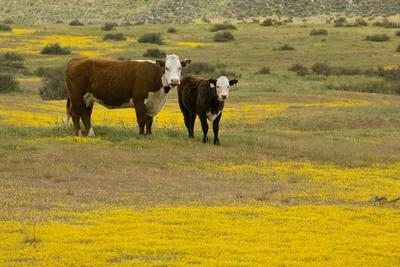 Domestic Cattle, cow with calf, Carrizo Plain