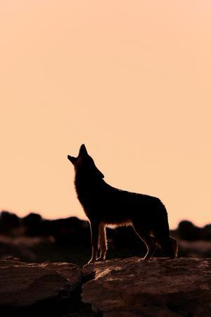 Coyote (Canis latrans) adult, howling, silhouetted at sunrise in high desert, Monument Valley