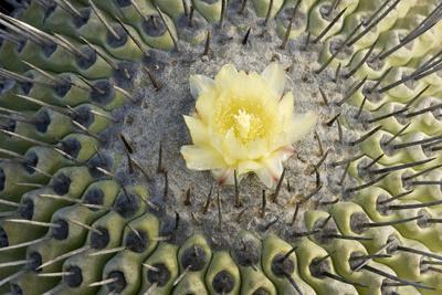 Copiapoa Cactus (Copiapoa echinoides var. cuprea) close-up of flower, Chile