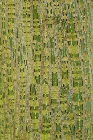Her's Maple (Acer davidii grosseri) bark, close-up of trunk, in botanical garden, july