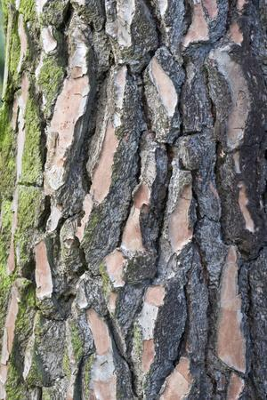 Maritime Pine (Pinus pinaster) close-up of bark, in garden, Cambridgeshire, England