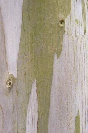 Urn Gum (Eucalyptus urnigera) bark, close-up of trunk, in botanical garden, july