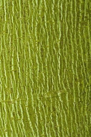 Striped Maple (Acer pensylvanicum) close-up of bark, mature tree