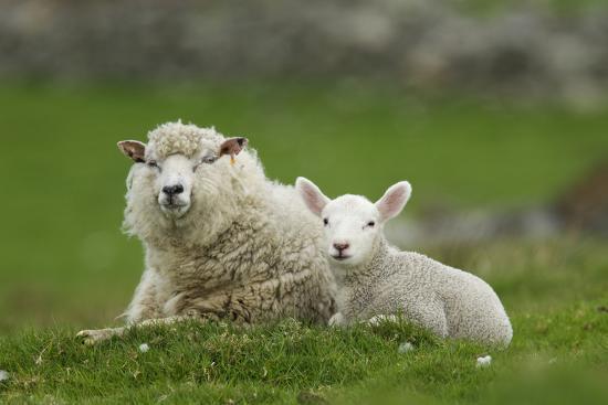 Domestic Sheep, ewe with lamb, resting in pasture, Shetland Islands