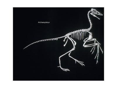 Archaeopteryx Skeleton, Dinosaurs Poster by Encyclopaedia ...