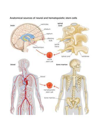 Anatomical Sources of Neural and Hematopoietic Stem Cells. Biology