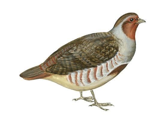 Hungarian Partridge (Perdix Perdix), Birds
