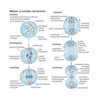 Mitosis, Somatic Cell Division, Biology