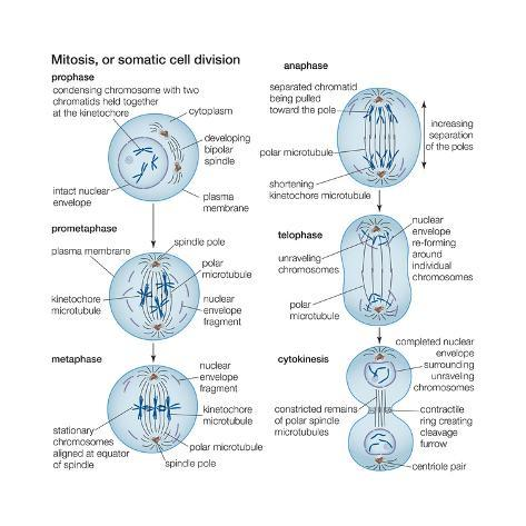 Mitosis  Somatic Cell Division  Biology Prints By
