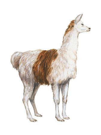 Domestic Llama (Lama Glama), Mammals