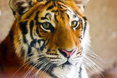 Close-up of a tiger, Bejing Wildlife Park, Beijing, China