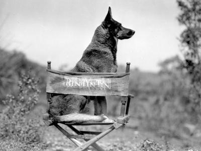 Rin Tin Tin Seated on Chair