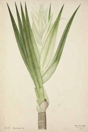 Pandanus Sp, 1800-10