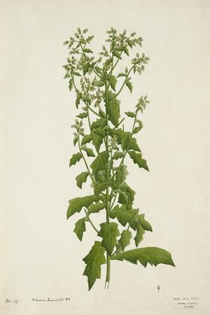 Blumea Laciniata Dc, 1800-10