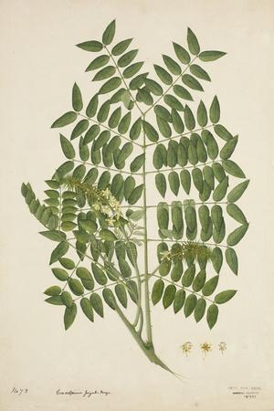 Caesalpinia Jayabo Maza, 1800-10