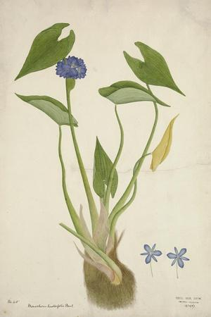 Monochoria Hastaefolia Presl, 1800-10