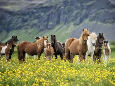 Icelandic Horses VII