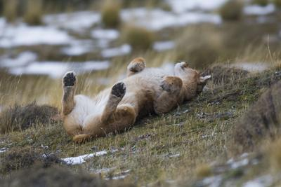 Puma (Puma Concolor) Rolling on Back, Torres Del Paine National Park, Chile, June