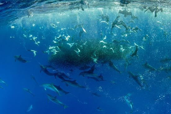 Corys Shearwaters Calonectris Diomedea Diving Among A Mass Of