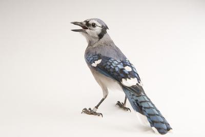 A Blue Jay, Cyanocitta Cristata.