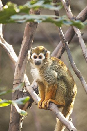 Primate II