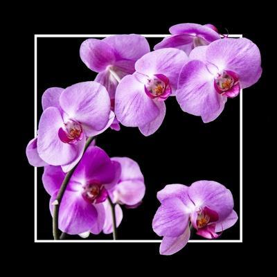 Orchids on Black IV