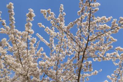 Cherries in Bloom II