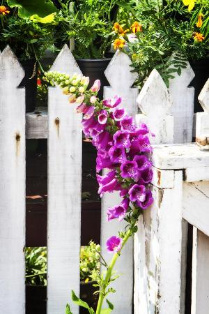 Foxglove on a Fence