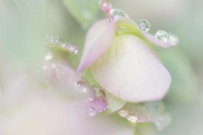 Dew Covered Oregano
